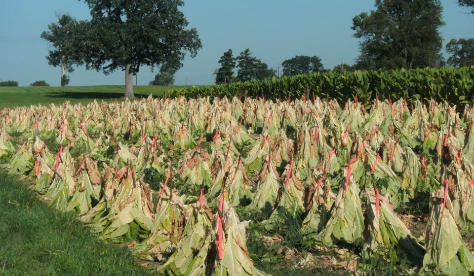 Tobacco Research Field